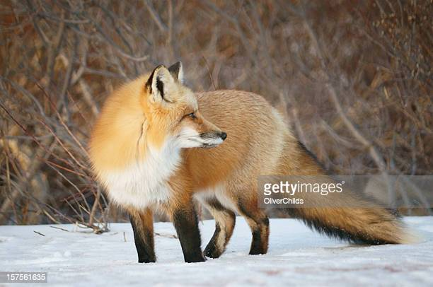 Red Fox looking back.