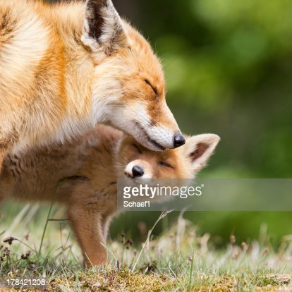 Red Fox Mother and a Cub : Stock Photo