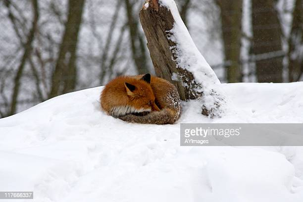 Red fox (V. vulpes)