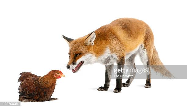 Red fox playing with a hen