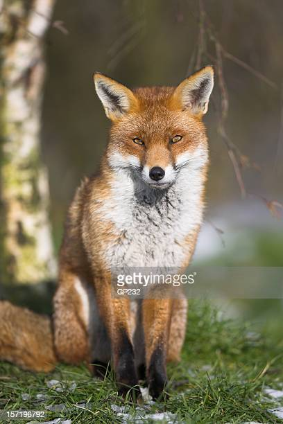 Red Fox posing on a winters day