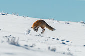 Red fox pouncing on prey in Yellowstone National Park, Wyoming