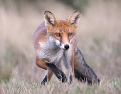 Red fox preparing to pounce