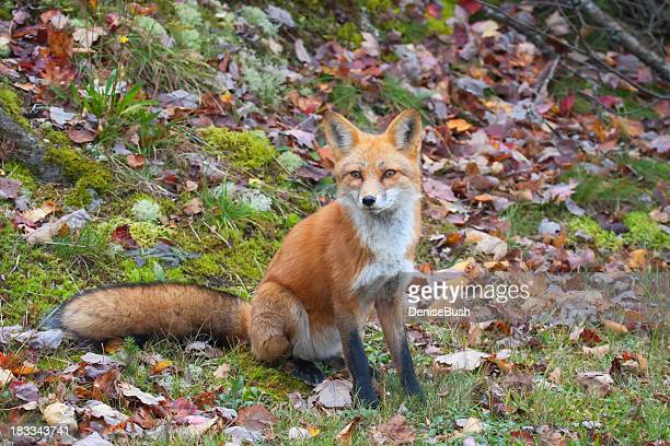 Red fox sitting on grass filled with autumn leaves