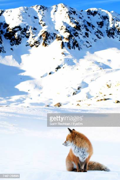 Red Fox Sitting On Snow Covered Field