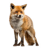Red fox, Vulpes vulpes, standing, isolated on white