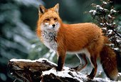 Red fox (Vulpes vulpes) standing on snow-covered log