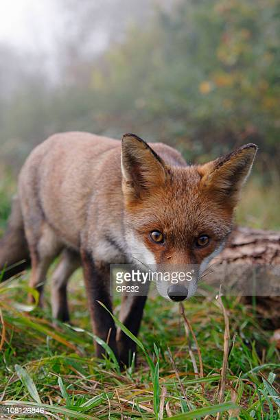Red Fox starren geradeaus