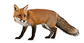 Red fox, Vulpes vulpes, 4 years old, walking against white background
