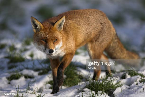 Red fox walking through some snowy grass