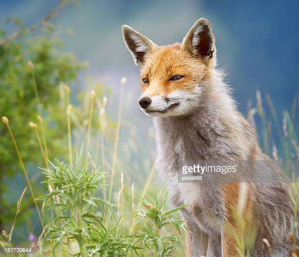 Red Fox watching for preys
