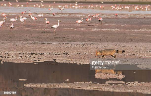 Red fox with flamingos