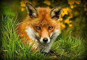 Red foxe