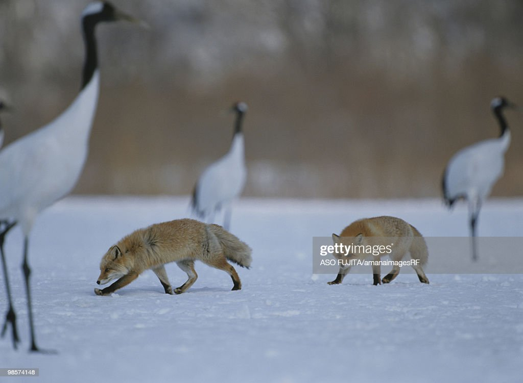 Red foxes and Japanese cranes in snowy field, Kushiro, Hokkaido, Japan