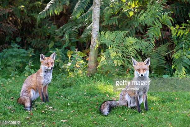 Red foxes at edge of forest