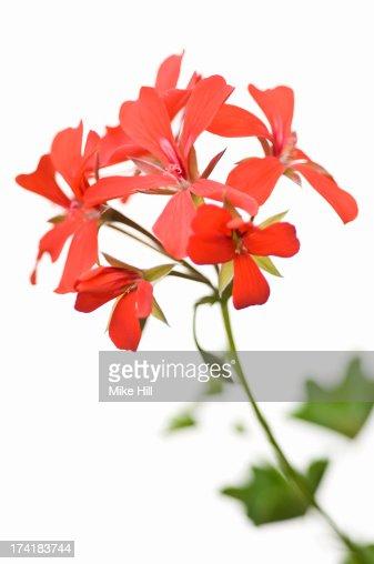 Red geranium against white background