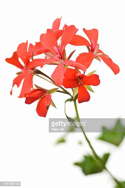 Red geranium against white background