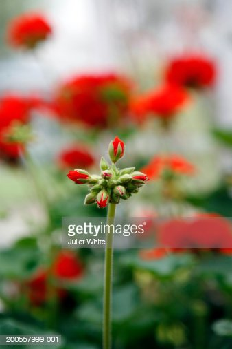 Red Geranium Flower Bud Closeup Stock Photo | Getty Images