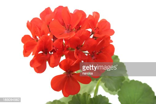 Red geranium isolated on white