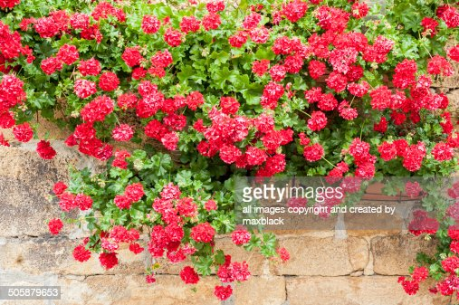 Red Geraniums and Stonework