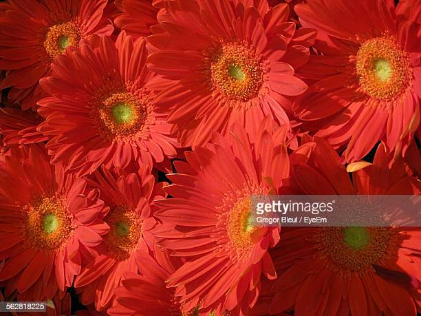 Red Gerbera Daisies In Bloom