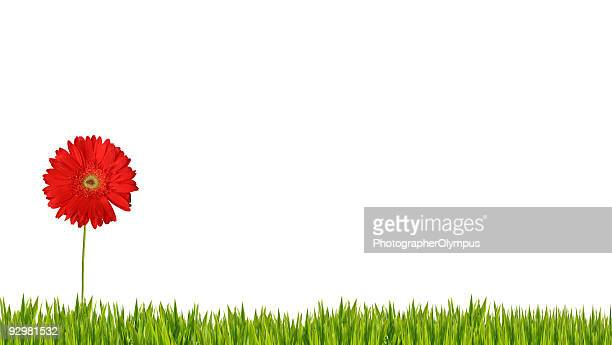 Red gerbera isolated on grass