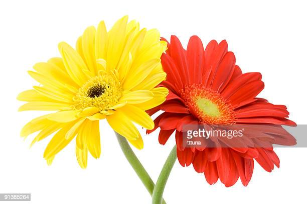 red gerbera, spring time flower beauty in nature