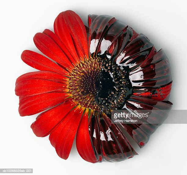 Red gerbera with motor oil, close-up