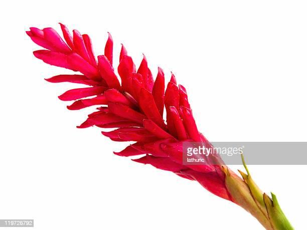 Gingembre rouge fleur