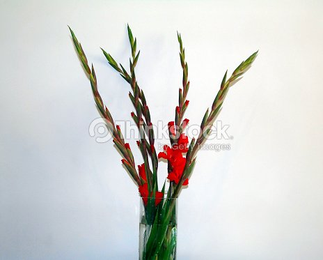 Red Gladioli Flowers In Vase Isolated On White Background Stock