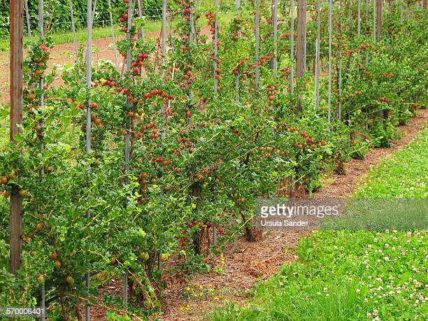 Red gooseberries (Ribes uva-crispa) in a row