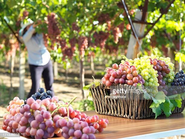 Vignoble de raisin rouge et