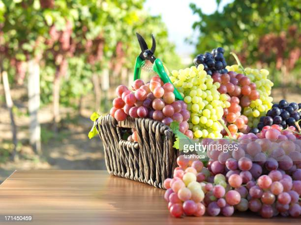 red Grape and Vineyard
