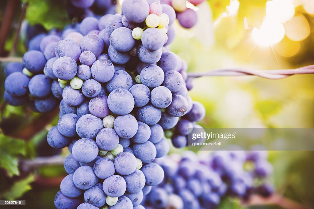 Red Grapes on the Vine : Stockfoto