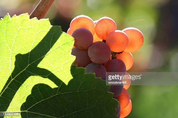 Rojo uvas