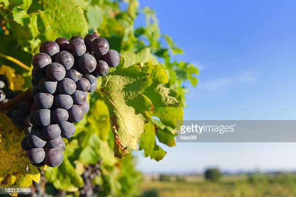 Rote Grapes