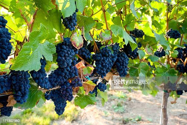 赤ブドウ ripen では、ブドウ園のブドウ