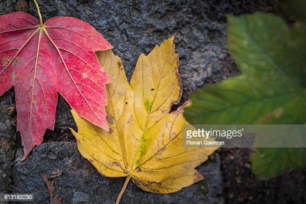 A red green and yellow leave are captured on October 07 2016 in Berlin Germany