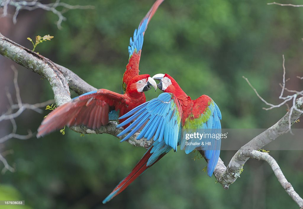 Red & Green Macaws, Brazil : Stock Photo