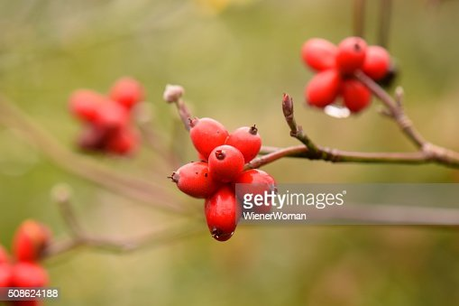 Red Group of Dogwood Tree Berries and Branches Close Up : Stock Photo