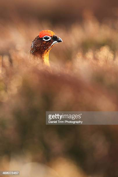 Red grouse peeking out of the heather