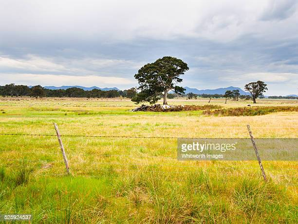 Red gum trees and sheep on farm in Victoria Valley