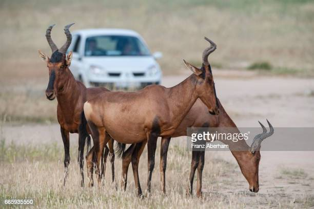 Red Hartebeest in front of an Safari vehicle, Auob Wadi, Kgalagadi National Park, Kalahari, South Africa