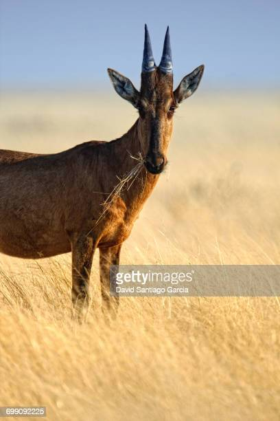 Red hartebeest (Alcelaphus buselaphus caama) standing in dry grass in Etosha National Park, Namibia