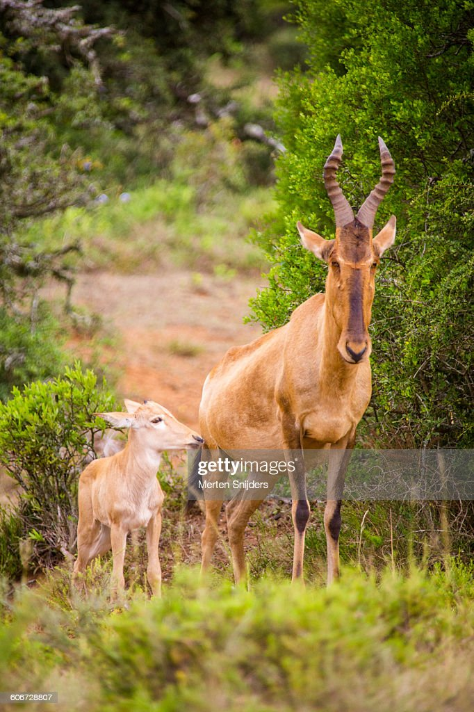 Red Hartebeest with calf