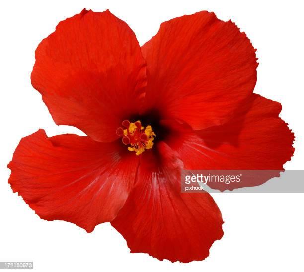 Roter Hibiskus Blume mit Path