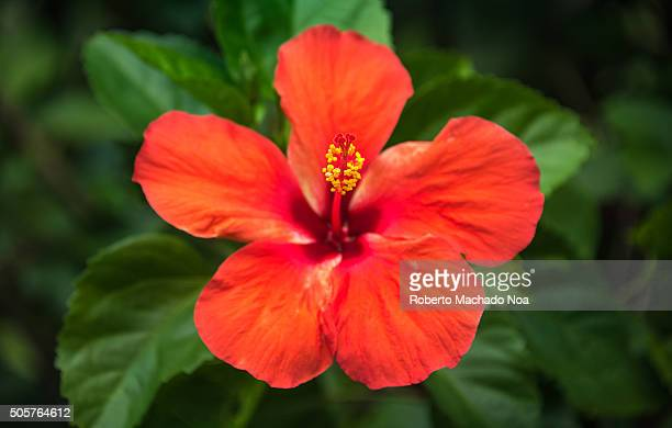 Red hibiscus or Mar Pacifico flower in gardenHibiscus is a genus of flowering plants in the mallow family Malvaceae