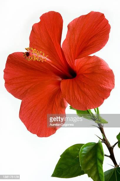Ibisco foto e immagini stock getty images for Ibisco rosso