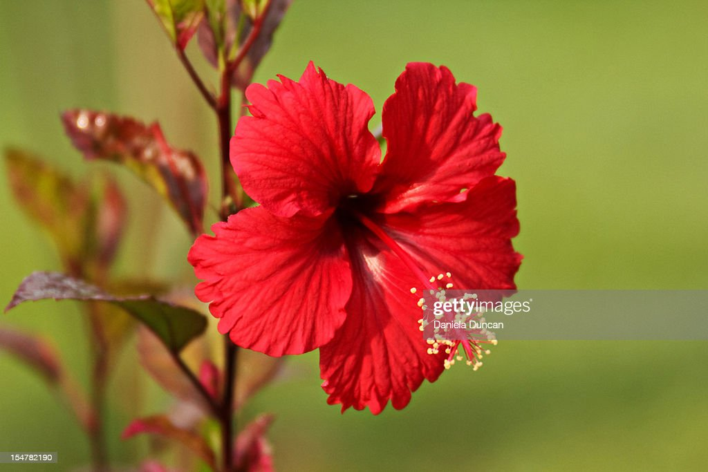 Red hibiscus : Stock Photo