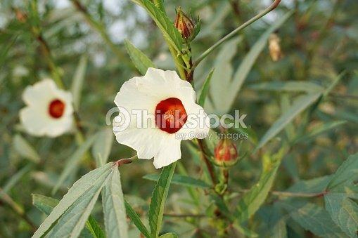 Red Hibiscus Sabdariffa Flower In Nature Garden Stock Photo Thinkstock
